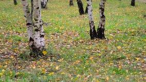 Jesień liścia spadek w brzoza gaju, Rosja zbiory