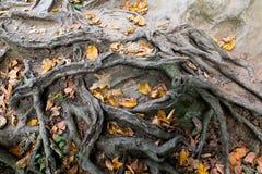 Jesień liście łapiący w oplecionych drzewnych korzeniach Zdjęcie Stock