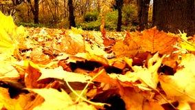 Jesień liście zdjęcie wideo