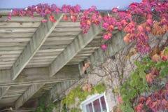 Jesień liście - Boston bluszcz Fotografia Stock