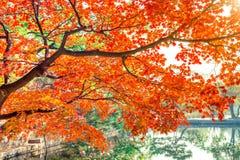 Jesień liście, Czerwony klon w jesieni Fotografia Royalty Free
