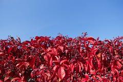 Jesień liście dzicy winogrona Zdjęcia Royalty Free
