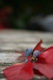 Jesień liście I jagody Fotografia Stock