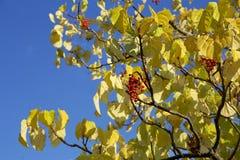 Jesień liście idesia polycarpa Zdjęcie Royalty Free