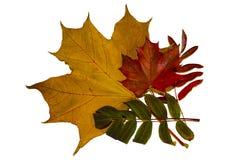 Jesień liście klon i rowan zdjęcie royalty free