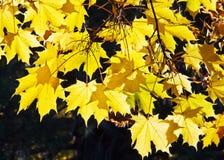 Jesień liście klonowi Obrazy Stock