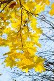 Jesień liście klonowi Obrazy Royalty Free