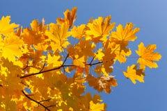 Jesień liście klonowi Zdjęcia Royalty Free