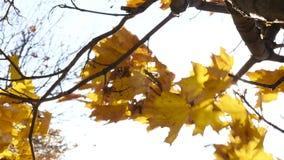 Jesień liście klonowi rusza się w wiatrowym zwolnionym tempie zbiory wideo