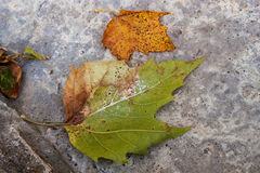 Jesień liście na betonowym tle Zdjęcie Royalty Free