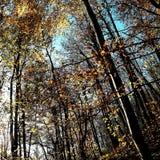 Jesień liście na drzewach przy Bratt drewnami Nunburnholme Wschodni Yorkshire Anglia Obrazy Royalty Free