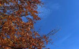 Jesień liście na drzewie z niebieskim niebem zdjęcia royalty free