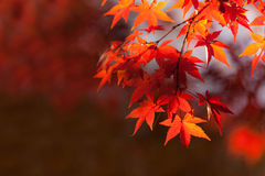 Jesień liście na gałąź Fotografia Royalty Free