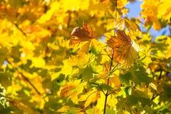Jesień liście na gałęziastym agains niebie Zdjęcia Stock