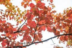 Jesień liście na gałęziastym agains niebie Zdjęcie Stock
