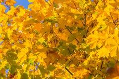 Jesień liście na gałęziastym agains niebie Obraz Royalty Free