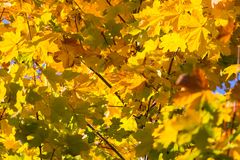 Jesień liście na gałęziastym agains niebie Zdjęcia Royalty Free