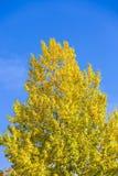 Jesień liście na gałęziastym agains niebie Obraz Stock