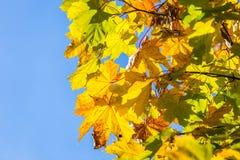 Jesień liście na gałęziastym agains niebie Obrazy Royalty Free