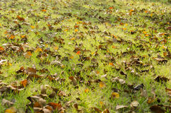 Jesień liście na trawie zakrywającej z czerwienią Fotografia Royalty Free