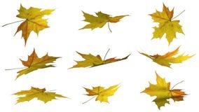 Jesień liście - odizolowywający na białym tle Obraz Stock