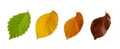 Jesień liście odizolowywający na białym tle wiąz obraz stock