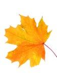 Jesień liście odizolowywający z kopii przestrzenią Fotografia Stock