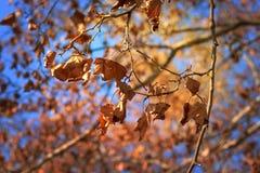 Jesień liście przeciw światłu słonecznemu Obrazy Royalty Free
