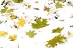 Jesień liście w śniegu Liść Klonowy Zakrywający w śniegu zdjęcia stock