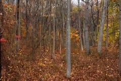 Jesień liście w drewnach Zdjęcie Royalty Free