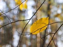 Jesień liście w drzewach Obrazy Royalty Free