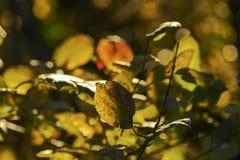 Jesień liście w popołudniowym słońcu Obrazy Stock
