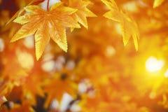 Jesień liście z światła słonecznego tła liściem klonowym Zdjęcia Stock