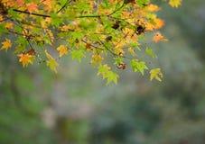 Jesień liście z zielonym i żółtym liściem klonowym w Japan Zdjęcia Stock