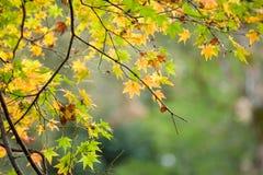Jesień liście z zielonym i żółtym liściem klonowym w Japan Fotografia Stock