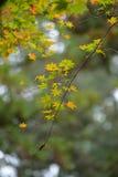 Jesień liście z zielonym i żółtym liściem klonowym w Japan Fotografia Royalty Free