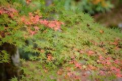 Jesień liście z zielonym i czerwonym liściem klonowym w Japan, Miękka ostrość Zdjęcia Stock