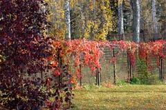 jesień liany czerwień fotografia stock