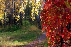 jesień liany czerwień obrazy royalty free