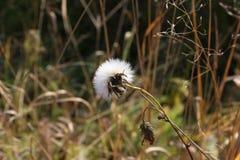 Jesień makro- biały kwiat Obraz Stock