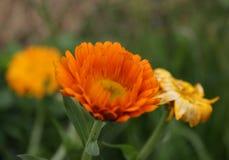 Jesień makro- pomarańczowy kwiat od Perm Zdjęcia Stock