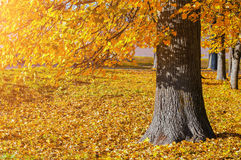 Jesień malowniczy krajobraz - podesłanie jesieni drzewo z spadać żółtymi jesień liśćmi pod światłem słonecznym Obrazy Stock