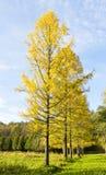 Jesień, modrzewiowa aleja Zdjęcie Royalty Free