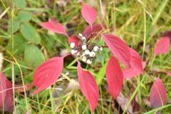 Jesień na słonecznym dniu, lasowy ochraniacz, dereniowa roślina z białymi jagodami Fotografia Royalty Free