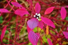 Jesień na słonecznym dniu, lasowy ochraniacz, dereniowa roślina z białymi jagodami Zdjęcia Royalty Free