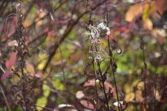 Jesień na słonecznym dniu, lasowy ochraniacz, susząca roślina z białym włosy Fotografia Stock