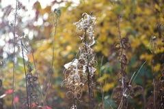 Jesień na słonecznym dniu, lasowy ochraniacz, susząca roślina z białym włosy Fotografia Royalty Free
