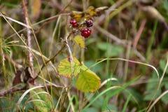 Jesień na słonecznym dniu, lasowy ochraniacz, susząca roślina z czerwoną jagodą Zdjęcia Stock