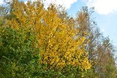 Jesień na słonecznym dniu, park, drzewo, rozgałęzia się Zdjęcie Stock