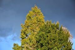 Jesień na słonecznym dniu, park, drzewo wierzchołek, chmurny niebo Obrazy Stock